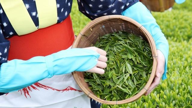 日本茶茶摘みの様子